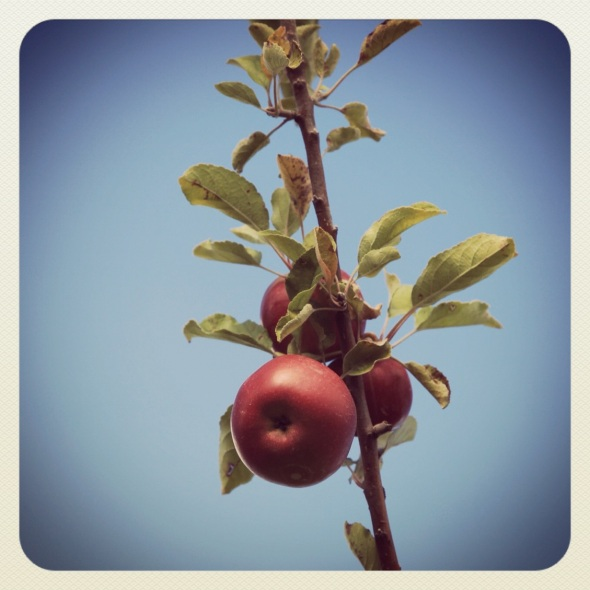 Season's end / branch clinging to its / last apples.