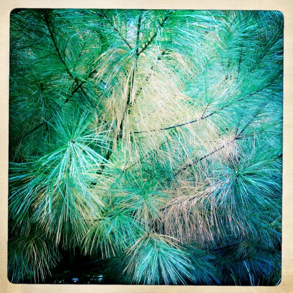 Pines pining / for Spring shed needles / unneeded. Haikumages