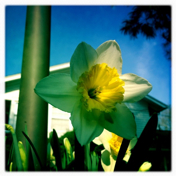 Spring sprang, sprung  / crocuses croaked, trampled by / dashing daffodils!