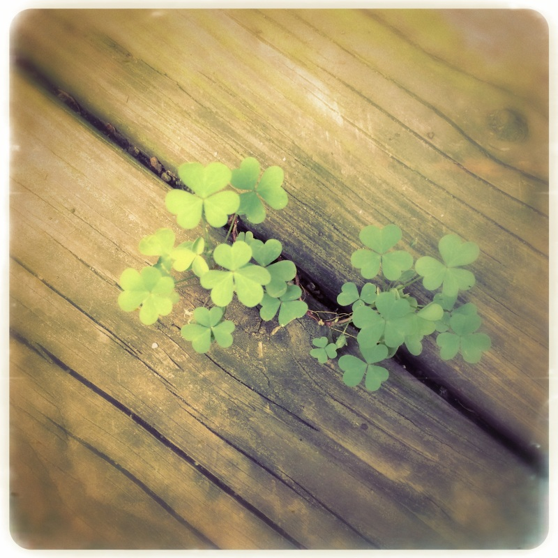 The clover growing / wildly unconcerned if leaves / number three or four. | haikumages