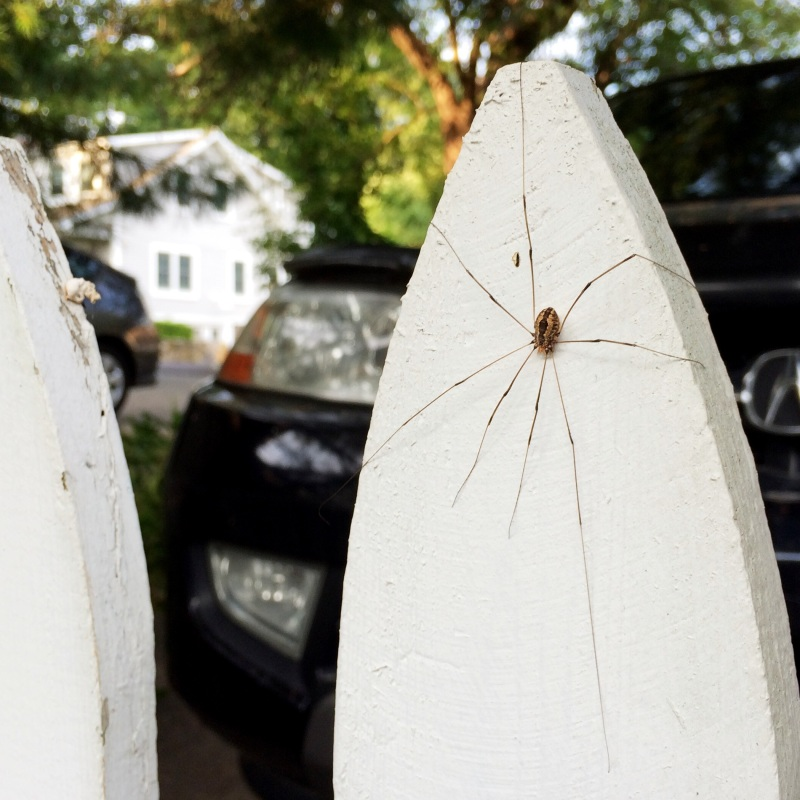 A daddy longlegs / displays his spindly namesakes / on a picket fence. | haikumages