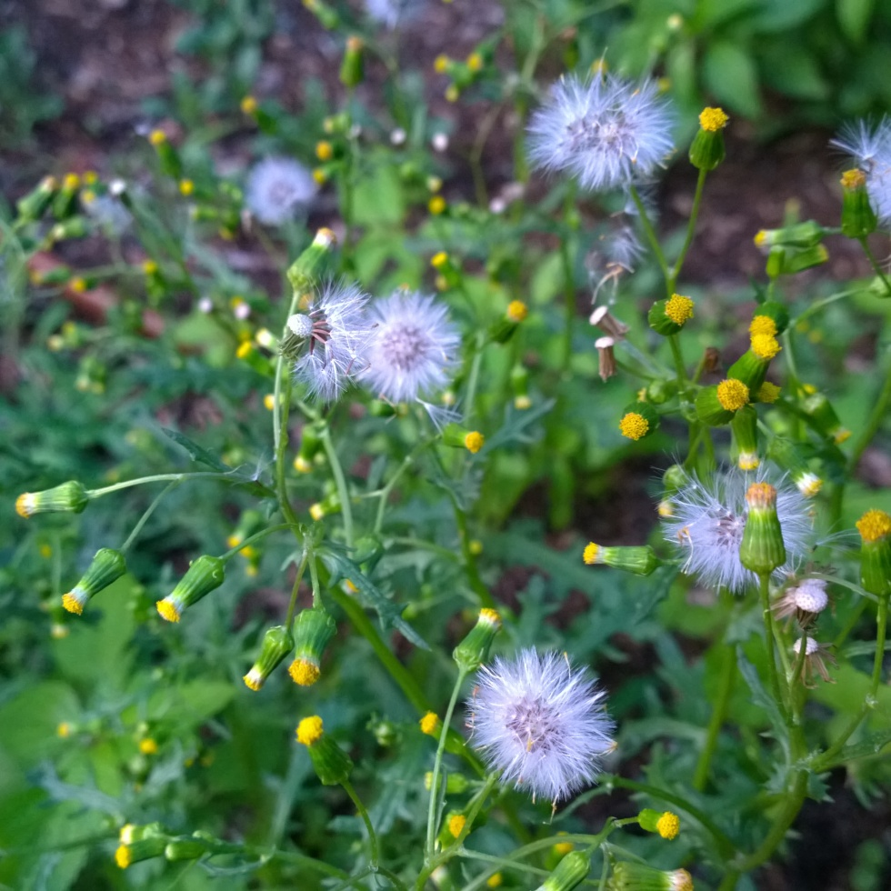 Pulling weeds left too / long, they release their seeds and / taunt me as they die. | haikumages