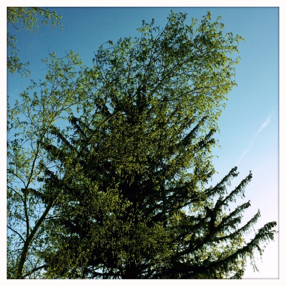 The white birch / in bloom, photobombs / the giant spruce.  // haikumages