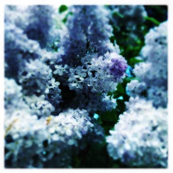 Behold the lilac! / Of its blossoms and perfume / which is more lovely? // haikumages