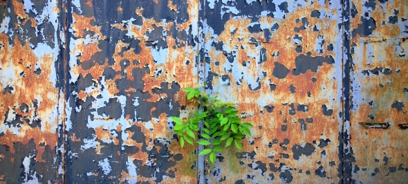 Tiny, mighty ash / tree breaks through the metal gate / growing undaunted. // haikumages