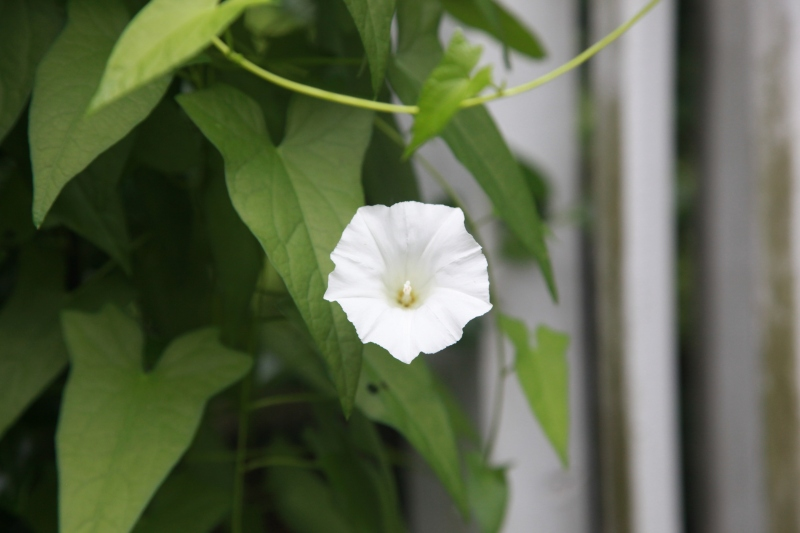 Inglorious weed / morning glory grows towards / a glorious end. // haikumages