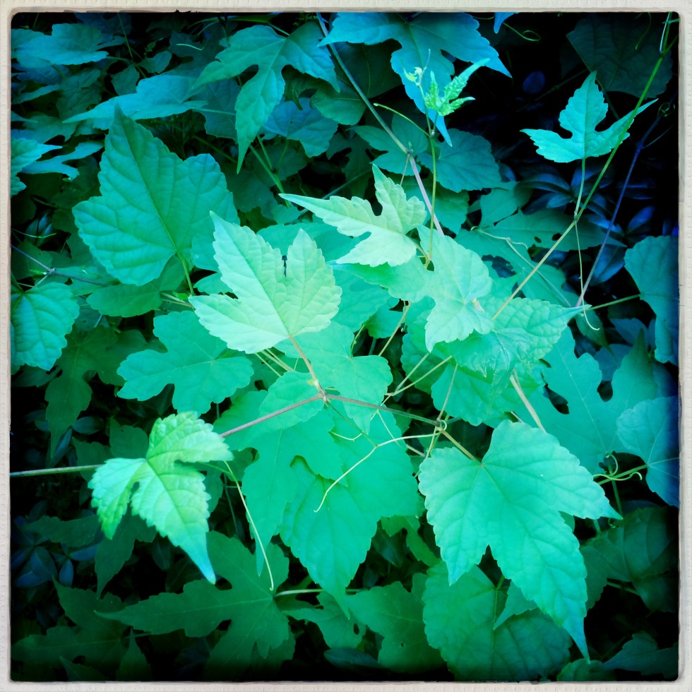 Wild grapevines / ate the yard when I / looked away. // haikumages