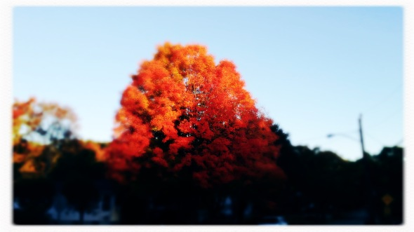 The proud red maples / their faces first to redden / as they take their leave. // haikumages - micropoetry