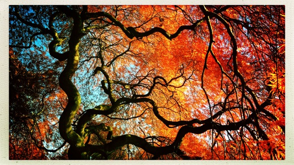 View of morning sky / through twisted limbs of the old / Japanese maple. // micropoetry - haiku - haikumages