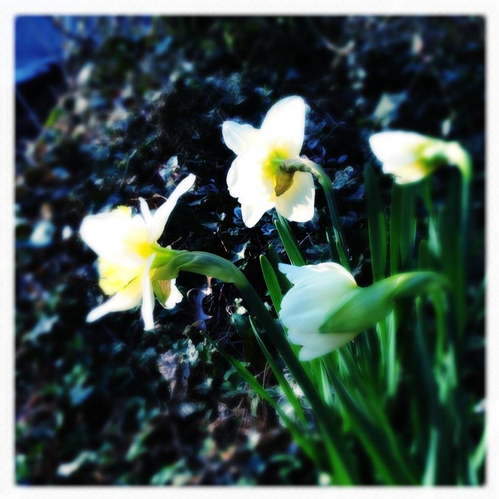 Climate change / brings flowers ahead / of schedule. // haiku - micropoetry - haikumages