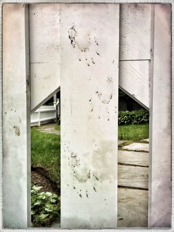 After a wild night / raccoon leaves his muddy mark / climbing over fence. // haiku - micropoetry - haikumages