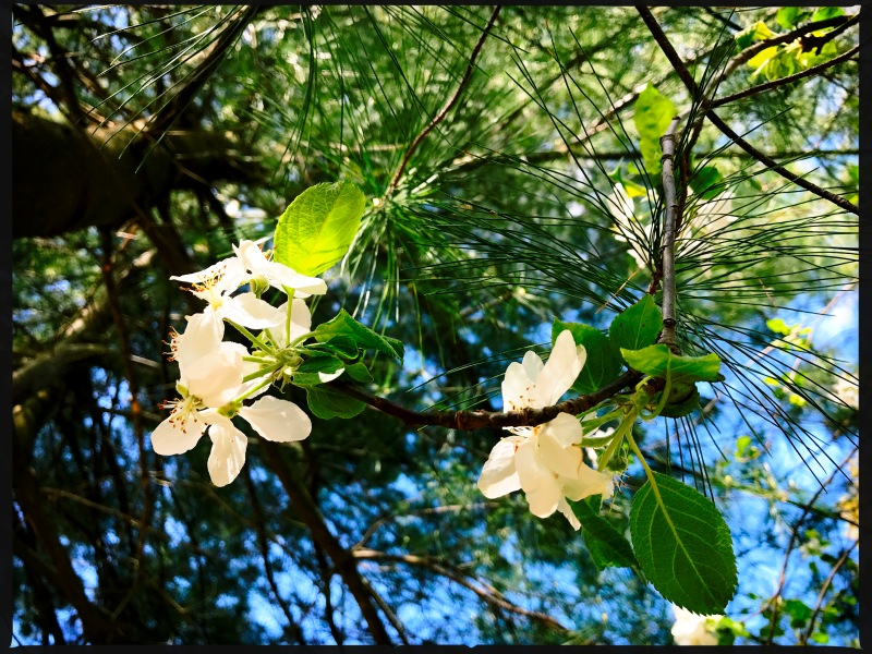 Between evergreens / the apple tree out of view / secretly blossomed. // micropoetry - haiku - haikumages