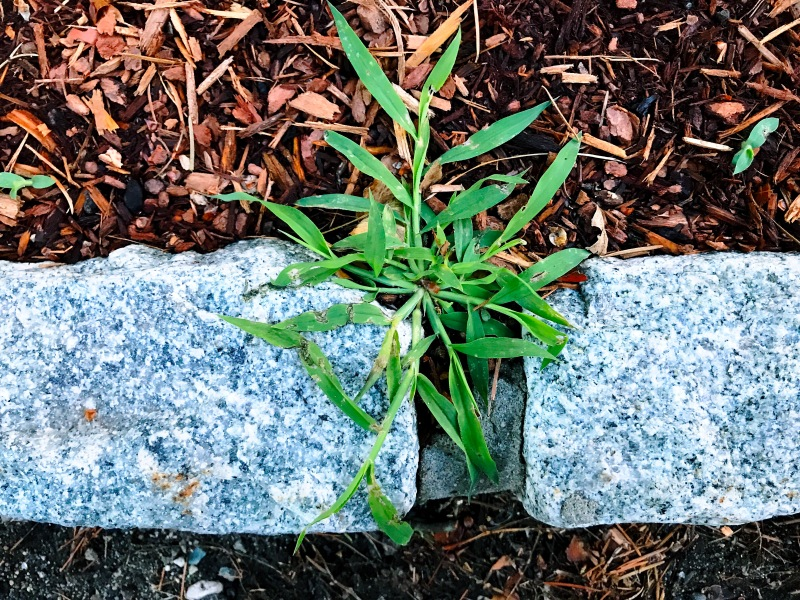 In garden and life / I've learned we must be weeding / continually. // micropoetry - haiku - haikumages