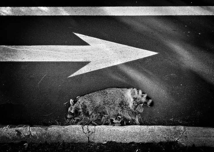 Unfavored by fate / the recalcitrant raccoon / who walked the wrong way. // micropoetry - haiku - haikumages