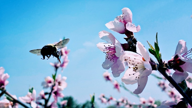Bee's bumbling ballet / buzzing, bumping blossoms with / beautiful purpose. // micropoetry - haiku - haikumages